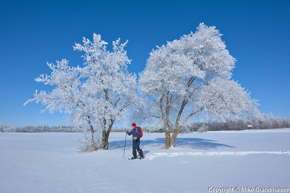 Man snowshoeing with hoarfrost covered cottonwood trees <br />Birds Hill Provincal Park<br />Manitoba<br />Canada