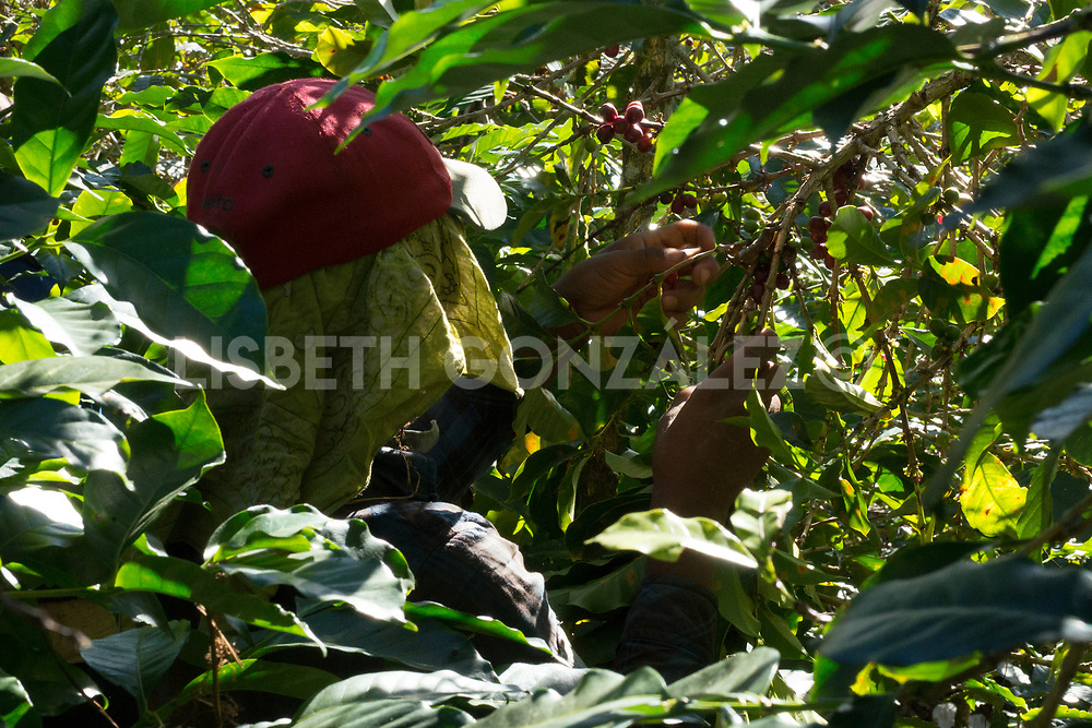 Photograph of specialty coffee cherries growing in the mountains of Panama, this coffee is vastly known around the world and it has broken records in auctions, where it has been valued up to $601.00 U.S. per pound. It is very delicate and wonderful. Panamanian coffee is fully hand picked by the nomad indigenous groups the Ngöbé and the Buglé, which means: the ones and the others.