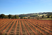 rows of vines during early autumn in the Aude Languedoc France
