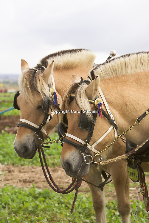 Horse Ploughing at The Festival of the Plough, Epworth  17 September 2017