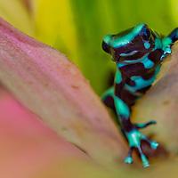 Alberto Carrera, Green and black poison dart Frog, Dendrobates auratus, Tropical Rainforest Reserve, Costa Rica, Central America, America