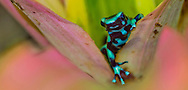 Alberto Carrera, Green and black poison dart Frog, Dendrobates auratus, Tropical Rainforest Reserve, Costa Rica, Central America, America