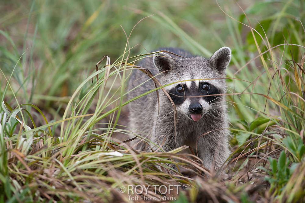 Endemic to Island of Cozumel, Mexico, the critically endangered Cozumel Pygmy Raccoon (Procyon pygmaeus) foraging for food.