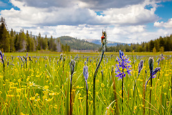 """Wildflowers at Sagehen Meadows 2"" - Photograph of Ladybug, purple Camas, and yellow Buttercup wildflowers at Sagehen Meadows."