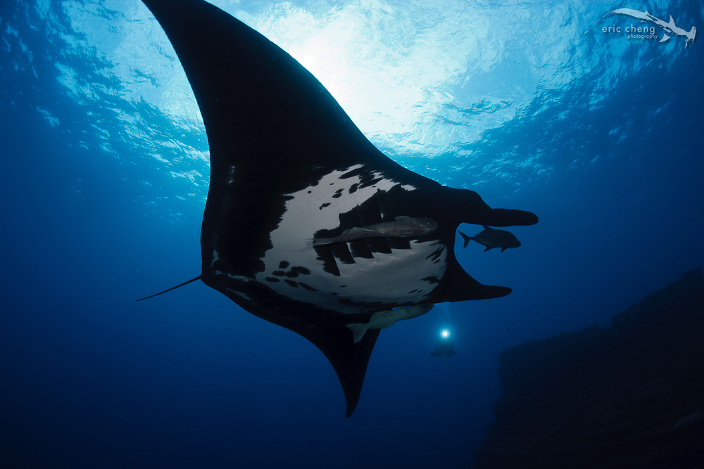 Manta ray (Manta birostris) at The Boiler, San Benedicto, Revillagigedos Islands, Mexico