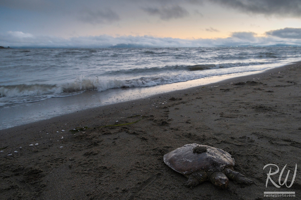 Sea Turtle on Robert Crown Memorial State Beach, Alameda, California