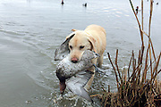 Yellow Labrador retriever bringing back a drake Canvasback during a Manitoba hunt.