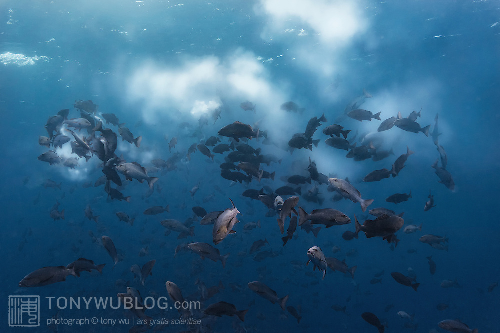 Massive spawning aggregation comprising thousands of two-spot red snapper (Lutjanus bohar) in the early morning. Photographed in Palau.