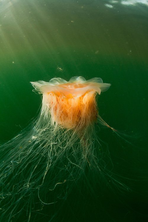 USA, Alaska, Chichagof Island, Jellyfish in Freshwater Bay