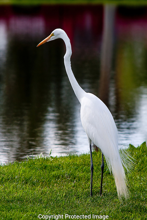 Great Egret quietly stalking the edge of a pond in search of his next fishy meal. Near the turn of the century, hunters reduced the population of the Great Egret to near extinction, as they took the beautiful long lacy  plumes of the breeding plumage and sold them to milliners. Because of the effort, put forth, by the National Audubon Society the sale and trade of bird plumes was banned and today the Great Egret has reclaimed most of its original territory