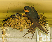 Feeding thr hungry young barn swallows