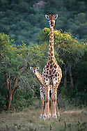 Giraffe.Kruger Area.South Africa