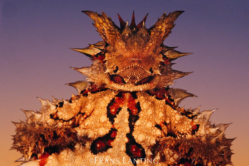 Thorny devil, Moloch horridus, Central Desert, Australia