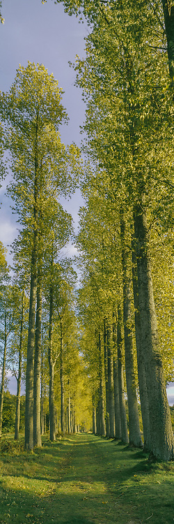 Poplar Tree's lined up on the River Tweed in the Scottish Border