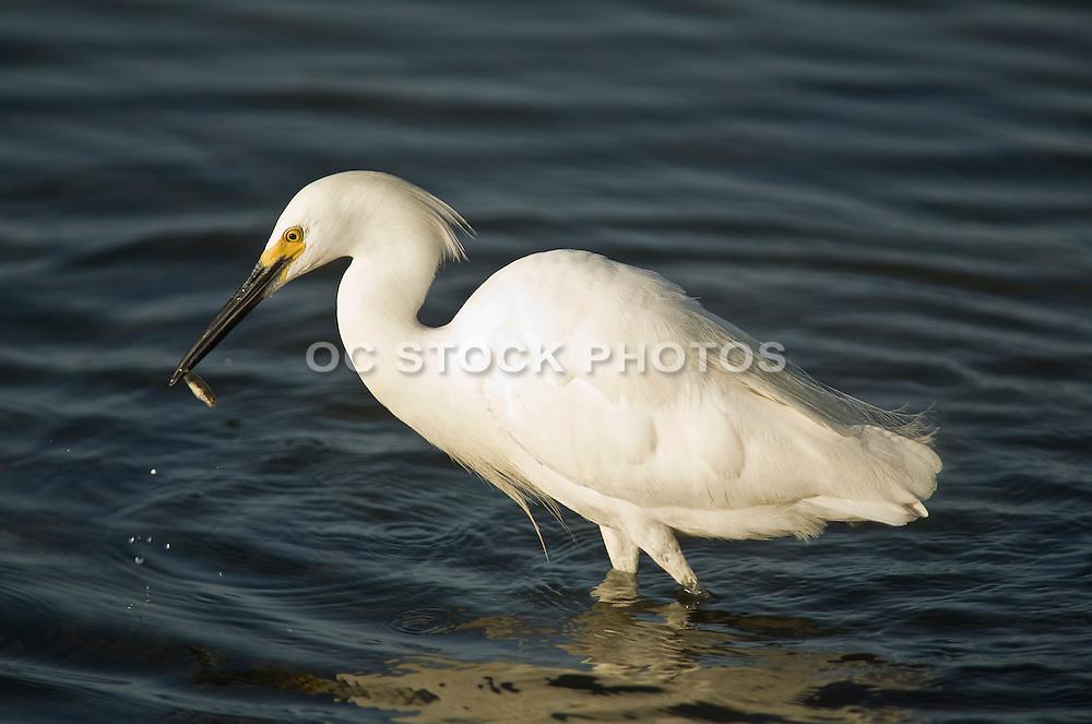 Snowy Egret At Bolsa Chica Wetlands
