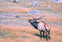 Bull elk during the rut.  This bull has a broken antler caused while battling another bull during the rutting season.  Rocky Mountain National Park, Colorado.