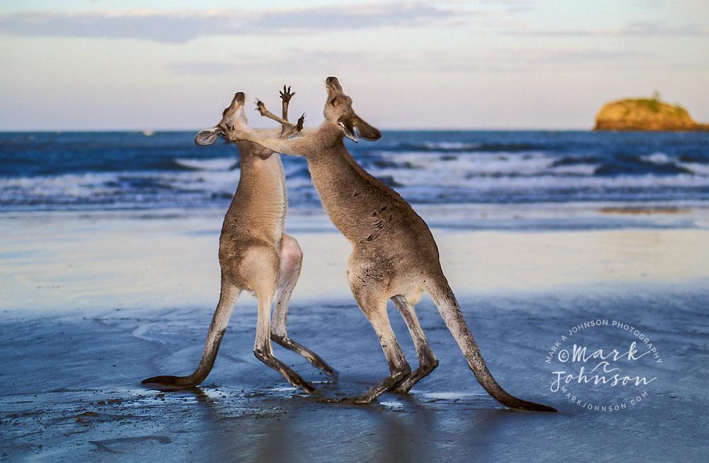 Sparring Kangaroos, Cape Hillsborough National Park, Queensland, Australia