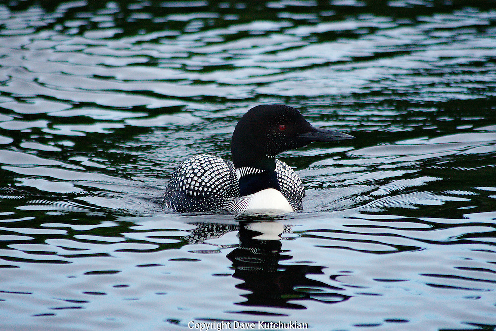 we were on peacham pond,vermont.  this loon was curious and just kept coming toward us. what a sight, experience.  nature is beautiful