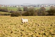 Sheep grazing on chalk downland grassland on Salisbury Plain, near Durrington, Wiltshire, England, Uk