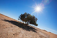 A single Tamarisk tree (Tamarix articulata) in the Sahara desert against clear blue sky.