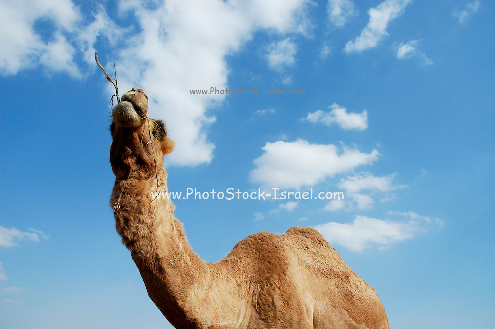 Close up of a camel'