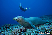 scuba diver and Hawaiian monk seal, Monachus schauinslandi, male ( critically endangered species ), Lehua Rock, near Niihau, off Kauai, Hawaiian Islands, USA ( Central Pacific Ocean ) MR 387