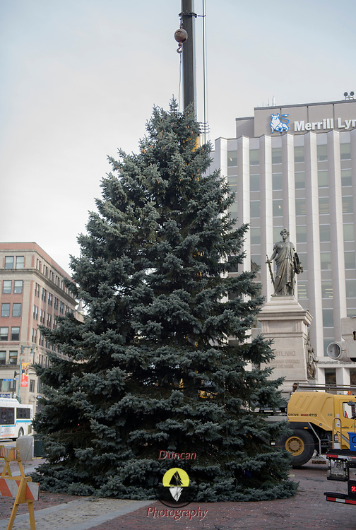 PORTLAND, Maine  11/15/18 --  This year's Christmas tree was installed today in Monument Square by crews from the Forestry Section of Portland's Parks, Recreation and Facilities Department, Keeley Crane Services and Shaw Brothers Construction. The  South Portland Fire Department donated a 40-foot blue spruce to the city of Portland  <br /> The tree was set in a deep drain in the center of Monument Square. <br /> Later this week, thetreewill be lit with over 5,000 LED lights during the Monument Square Tree Lighting onFriday, November 23 at 5:00 p.m.<br /> Santa Claus has suggested he might make an appearance and local Musicians will be performing.<br /> Photo by Roger S. Duncan for the Forecaster