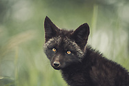 A black colored red fox baby (Vulpus vulpus). Yukon Territory, Canada.