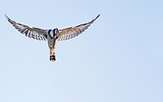 Pied Kingfisher (Ceryle rudis) hovering. Photographed in Israel in September