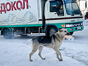 Jakutsk/Russische Foederation, RUS, 22.11.07: Obdachloser Hund mit einer Tetra Pak Verpackung bei -30 Grad Celsius im Zentrum von Jakutsk. Jakutsk hat 236.000 Einwohner (2005) und ist Hauptstadt der Teilrepublik Sacha (auch Jakutien genannt) im Foederationskreis Russisch-Fernost und liegt am Fluss Lena. Jakutsk ist im Winter eine der kaeltesten Grossstaedte weltweit mit durchschnittlichen Winter Temperaturen von -40.9 Grad Celsius. Die Stadt ist nicht weit entfernt von Oimjakon, dem Kaeltepol der bewohnten Gebiete der Erde.Die Stadt ist nicht weit entfernt von Oimjakon, dem Kaeltepol der bewohnten Gebiete der Erde.| Yakutsk/Russian Federation, RUS, 22.11.07: Homeless dog with a Tetra Pak package during -30 degrees celsius looking for food in the center of Yakutsk. Yakutsk is a city in the Russian Far East, located about 4 degrees (450 km) below the Arctic Circle. It is the capital of the Sakha (Yakutia) Republic (formerly the Yakut Autonomous Soviet Socialist Republic), Russia and a major port on the Lena River. Yakutsk is one of the coldest cities on earth, with winter temperatures averaging -40.9 degrees Celsius. |[(c) Bjoern Steinz, Vojanova 1408/28, 229 22 Lysa nad Labem, Tschechische Republik, phone +420 325551336, mobil +420 777 218 029, steinz@oka2.com, Bank: F r a n k f u r t e r  V o l k s b a n k     BLZ 50190000 Konto 0301951710 IBAN DE06501900000301951710 BIC FFVBDEFF, www.oka2.com, www.bsteinz.de. Bei Verwendung des Fotos ausserhalb journalistischer Zwecke bitte Ruecksprache mit dem Fotograf halten. Jegliche Verwendung nur gegen Beleg und Honorar nach MFM oder gesonderter Absprache, Publication only with royalty payment, credit line and print sample, Achtung: NO MODEL RELEASE]..[#0,26,121#]