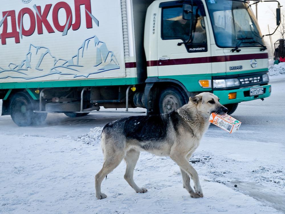 Jakutsk/Russische Foederation, RUS, 22.11.07: Obdachloser Hund mit einer Tetra Pak Verpackung bei -30 Grad Celsius im Zentrum von Jakutsk. Jakutsk hat 236.000 Einwohner (2005) und ist Hauptstadt der Teilrepublik Sacha (auch Jakutien genannt) im Foederationskreis Russisch-Fernost und liegt am Fluss Lena. Jakutsk ist im Winter eine der kaeltesten Grossstaedte weltweit mit durchschnittlichen Winter Temperaturen von -40.9 Grad Celsius. Die Stadt ist nicht weit entfernt von Oimjakon, dem Kaeltepol der bewohnten Gebiete der Erde.Die Stadt ist nicht weit entfernt von Oimjakon, dem Kaeltepol der bewohnten Gebiete der Erde.| Yakutsk/Russian Federation, RUS, 22.11.07: Homeless dog with a Tetra Pak package during -30 degrees celsius looking for food in the center of Yakutsk. Yakutsk is a city in the Russian Far East, located about 4 degrees (450 km) below the Arctic Circle. It is the capital of the Sakha (Yakutia) Republic (formerly the Yakut Autonomous Soviet Socialist Republic), Russia and a major port on the Lena River. Yakutsk is one of the coldest cities on earth, with winter temperatures averaging -40.9 degrees Celsius. |[(c) Bjoern Steinz, Vojanova 1408/28, 229 22 Lysa nad Labem, Tschechische Republik, phone +420 325551336, mobil +420 777 218 029, steinz@oka2.com, Bank: F r a n k f u r t e r  V o l k s b a n k     BLZ 50190000 Konto 0301951710 IBAN DE06501900000301951710 BIC FFVBDEFF, www.oka2.com, www.bsteinz.de. Bei Verwendung des Fotos ausserhalb journalistischer Zwecke bitte Ruecksprache mit dem Fotograf halten. Jegliche Verwendung nur gegen Beleg und Honorar nach MFM oder gesonderter Absprache, Publication only with royalty payment, credit line and print sample, Achtung: NO MODEL RELEASE]..[#0,26,121#]