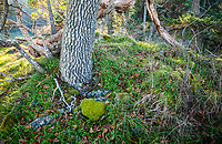 The base of an old Oak tree on a sunny day, Ruckle Provincial Park, Salt Spring Island, British Columbia, Canada.