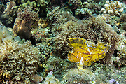 Leaf Scorpionfish (Taenianotus triacanthus)<br /> Lesser Sunda Islands<br /> Indonesia