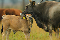 Maremmana primitiva cow with crossbreed calf, Tauros/Aurochs breeding site run by The Taurus Foundation, Keent Nature Reserve, The Netherlands