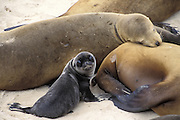 California Sea Lion <br /> Zalophus californianus<br /> Mother and young pup <br /> San Miguel Island, Channel Islands NP, California<br /> A young pup (less than 2-3 days old) looks up curiously while sitting at its mother's side. Pups weigh only 13-20 pounds at birth and are dark in color, ranging from almost black to grayish-brown.