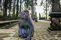 Bali, Badung, Sangeh. Macaque in the monkey forest. This is my kingdom, and I am the king!