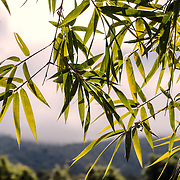 Leaves of bamboo in Laos.