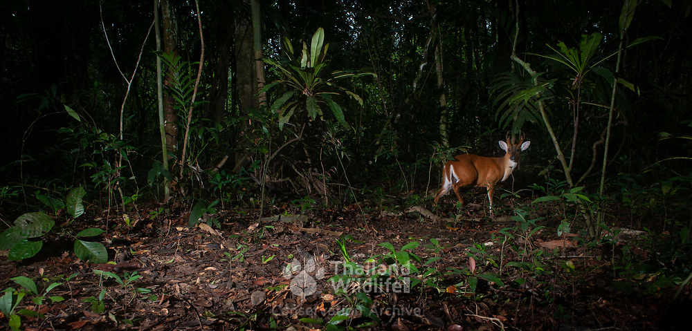The Indian muntjac (Muntiacus muntjak), also called red muntjac and barking deer, is a common muntjac deer species in Thailand. It is listed as Least Concern on the IUCN Red List.