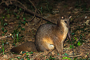 Falanouc or Malagasy small-toothed civet (Eupleres goudotii) pulling an earthworm from the ground.<br /> Montagne d'Ambre National Park.<br /> n.MADAGASCAR<br /> A small to medium sized carnivore slightly larger than a domestic cat. This is probably Madagascar's most specialised carnivore. Its elongate snout and tiny conical teeth have evolved to catch earthworms and other small invertebrates on which the Falanouc feeds almost exclusively. It forages in leaf-litter digging up food using its strong forepaws and long claws. <br /> The falanouc is crepuscular (dawn & dusk) and nocturnal<br /> ENDEMIC TO MADAGASCAR and rare over most of its range.