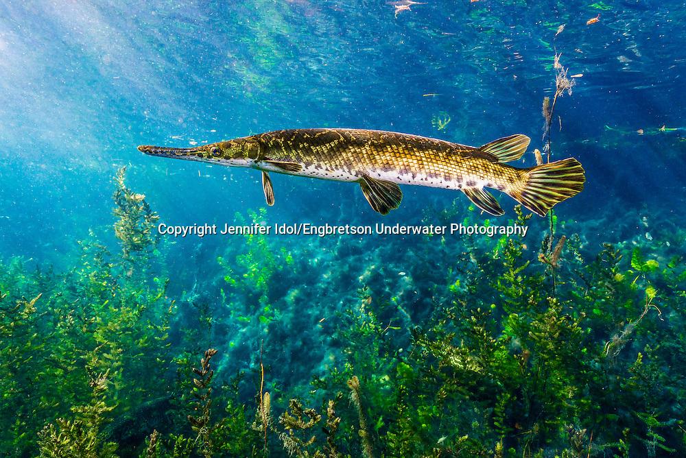 Spotted Gar<br /> <br /> Jennifer Idol/Engbretson Underwater Photography