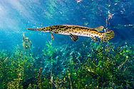 Spotted Gar<br />
