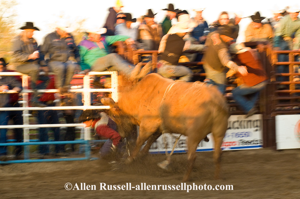 Bull Rider being mauled by bull after bucked off, Miles City Bucking Horse Sale, Montana, blurred motion,  <br /> MODEL RELEASED on rider only