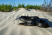 Eastern Indigo Snake (Drymarchon couperi)<br /> CAPTIVE<br /> The Orianne Indigo Snake Preserve<br /> Telfair County, Georgia<br /> USA<br /> HABITAT & RANGE: Long leaf pine sandhills of central plains of Georgia, southern South Carolina south through Florida and west to Louisiana, Mississippi, and Alabama that are populated with Gopher Tortoises.<br /> Federally listed as THREATENED SPECIES