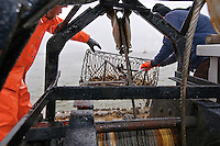© David Trozzo-- 3/31/2008 Annapolis, Maryland, last day of oyster season aboard the Skipjack Helen Virginia on the Chesapeake Bay, oysters are hauled aboard by Dave Gelenter  left, and boat owner Robert Wilson after being dredged from the bottom of the bay.