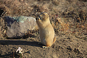 Standing black-tailed prairie dog.