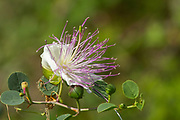 flowering Common Caper (Capparis spinosa) shrub. Photographed in Israel in July