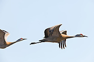 Sandhill Cranes (Grus canadensis) in flight after foraging on the Susitna Flats State Game Refuge near Beluga in Southcentral Alaska during the spring migration. Afternoon.