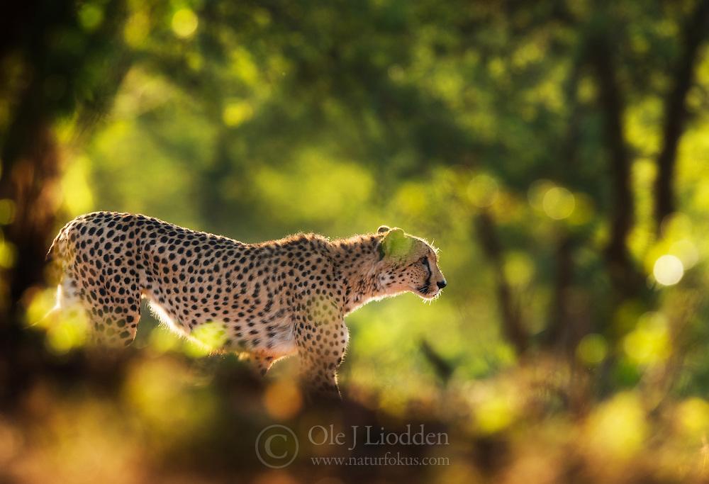 Cheetah (Acinonyx jubatus) in Zimanga, South africa