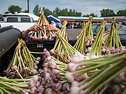 03 AUGUST 2019 - ST. PAUL, MINNESOTA: A worker sorts fresh garlic grown on a Hmong owned farm at the farmers' market in the Hmongtown Marketplace. Thousands of Hmong people, originally from the mountains of central Laos, settled in the Twin Cities in the late 1970s and early 1980s. Most were refugees displaced by the American war in Southeast Asia. According to the 2010 U.S. Census, there are now 66,000 ethnic Hmong in the Minneapolis-St. Paul area, making it the largest urban Hmong population in the world. There are two large Hmong markers in St. Paul. The Hmongtown Marketplace has are more than 125 shops, 11 restaurants, and a farmers' market in the summer. Hmong Village is newer and has more than 250 shops and 17 restaurants.    PHOTO BY JACK KURTZ