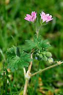 DOVE'S-FOOT CRANE'S-BILL Geranium molle (Geraniaceae) Height to 20cm. Spreading and branched, extremely hairy annual of dry, grassy places including roadside verges. FLOWERS are 5-10mm across with notched pink petals; borne in pairs (Apr-Aug). FRUITS are hairless. LEAVES are hairy and rounded, with the margins cut into 5-7 lobes. STATUS-Common and widespread, especially in the S.